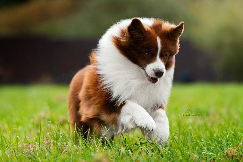 питомник-айсгуард-щенки-бордерколли