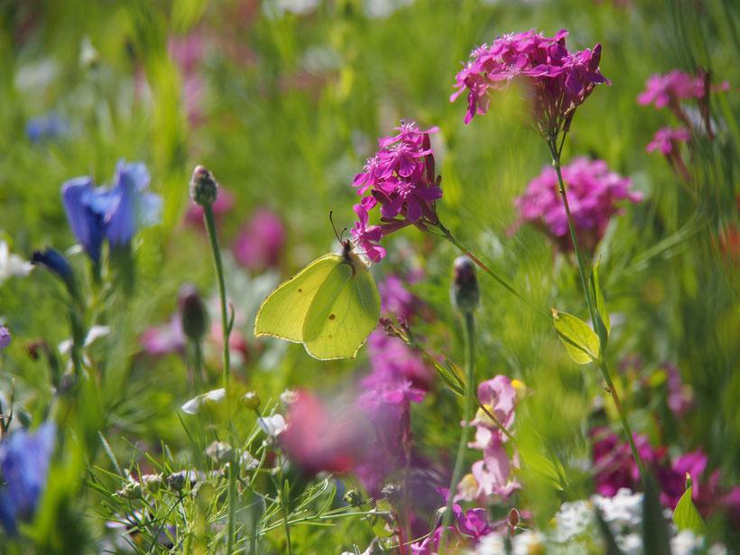 Eine artenreiche Blumenwiese ist auch für Schmetterlinge und viele andere Insekten überlebenswichtig.