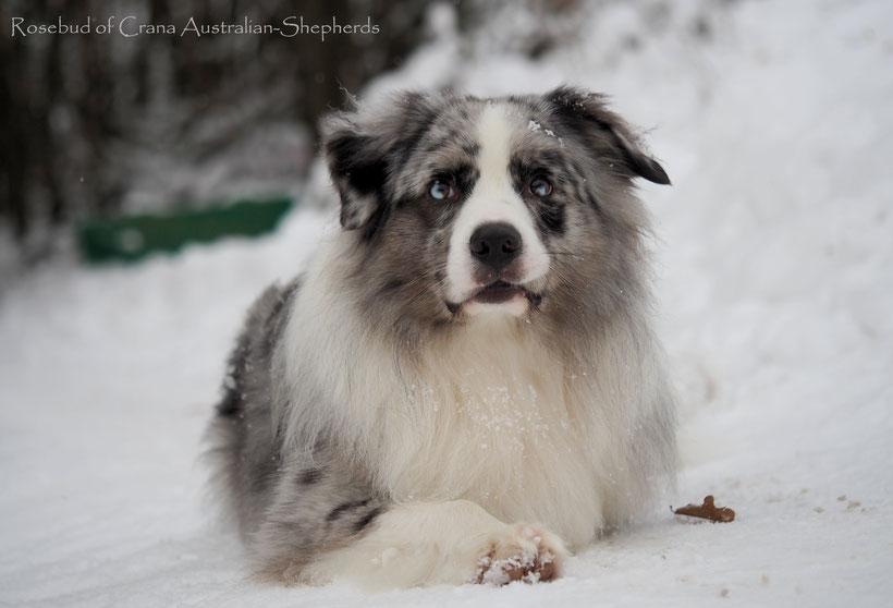 Australian Shepherd Teddy im Schnee