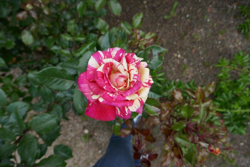 Rose parc floral de la Source: univers emylila