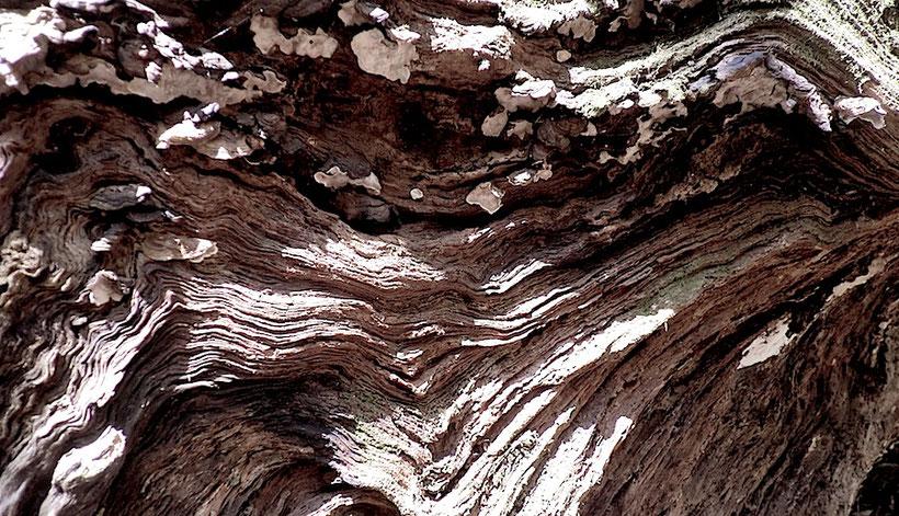 地層のような倒木断面