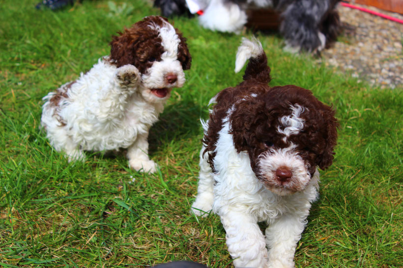 curly coats lagotto dogs avilable for sale curly coats lagotto