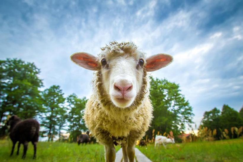 Bild: Wollsocken aus 100 % Schafwolle, Strumpf-Klaus