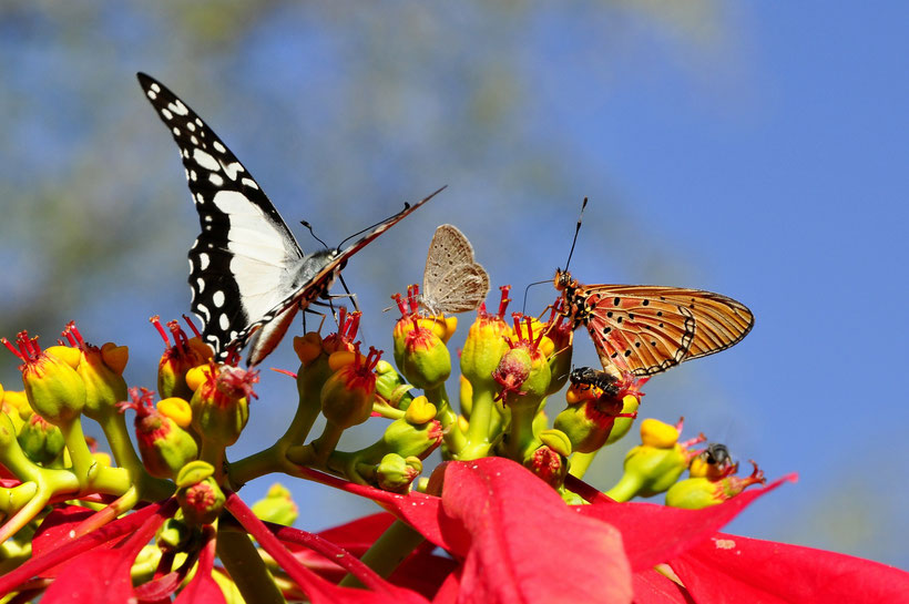 butterfly poinsettia