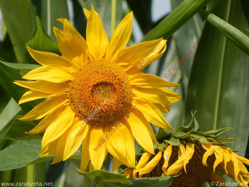 Zarahzetas Texte mit Oranger Sonnenhut im Sommer