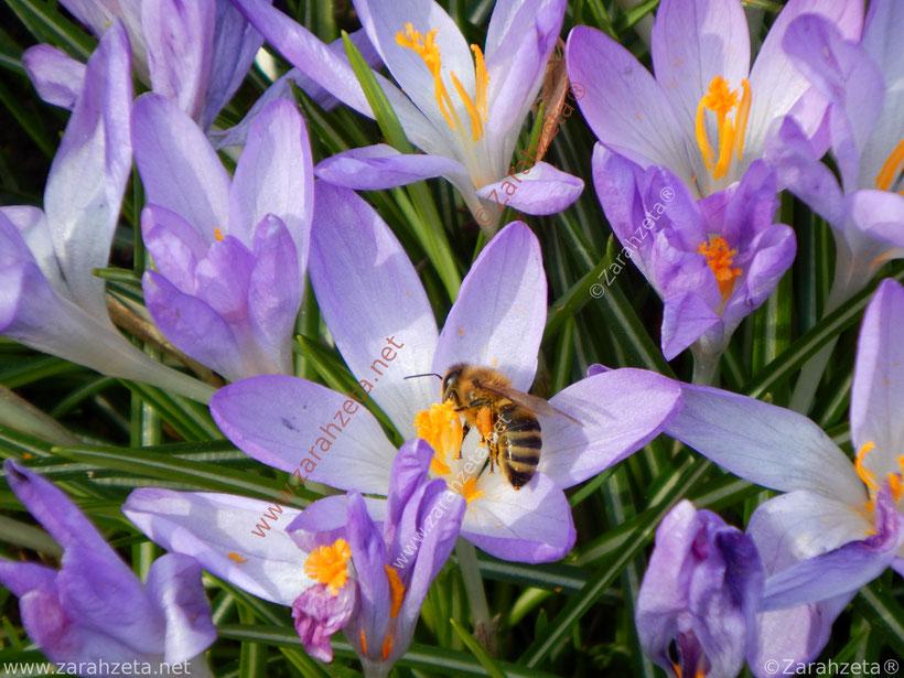 Honigbiene auf lila Krokus als Frühlingsbiene