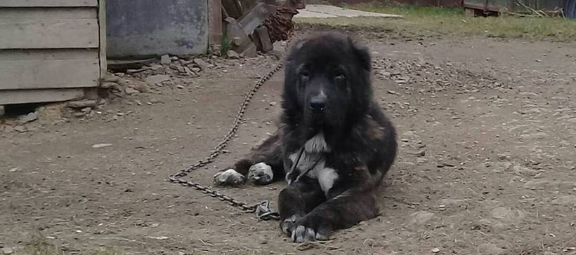 Тибетский мастиф - світ собаки   364x820