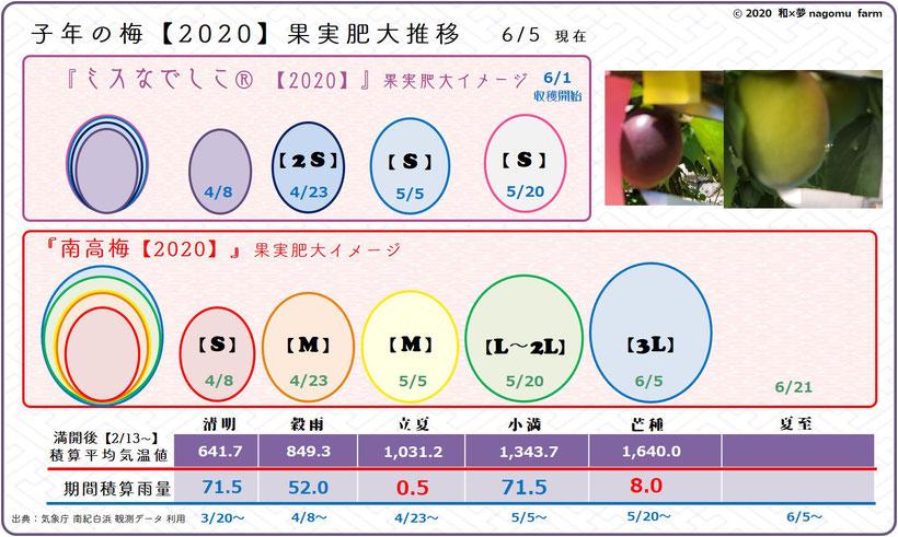 子年の梅【2020】果実肥大推移