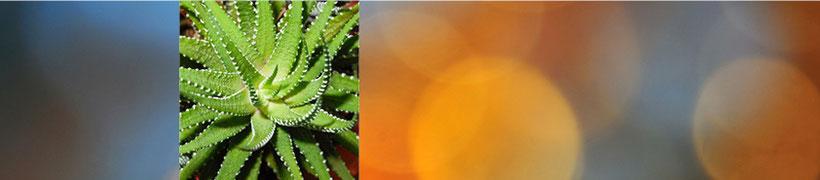 Aloe Vera  - Wundheilung und Wundpflege bei offenen Verletzungen, Hautproblemen, Sonnenbrand, Ausschläge. Auch zur inneren Anwendung für Verdauungstrakt und Darmschleimhäute sowie für kosmetische Zwecke. Beratung bei Heilpraxis Emea, Lörrach, Grenze Basel