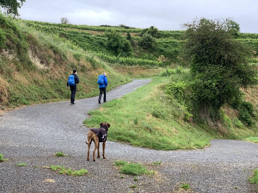 Wanderer mit Hund im Regen in Weinbergen