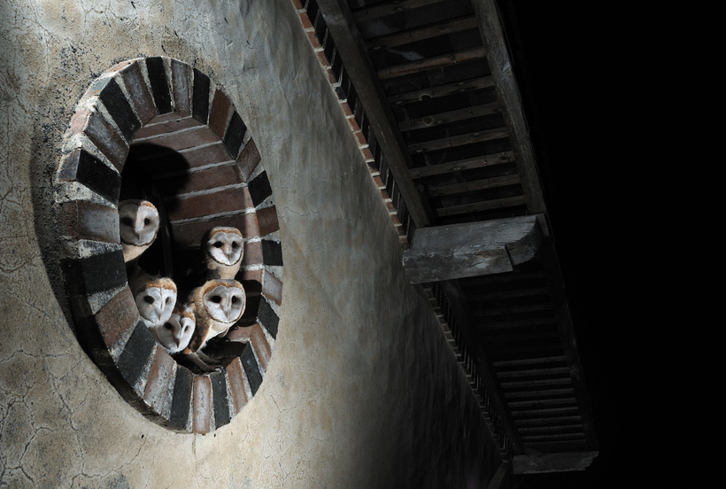 Chouettes effraies en famille ©Emmanuel Sauvaitre