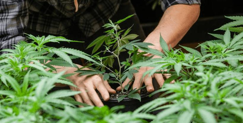 wann cannabis umpflanzen