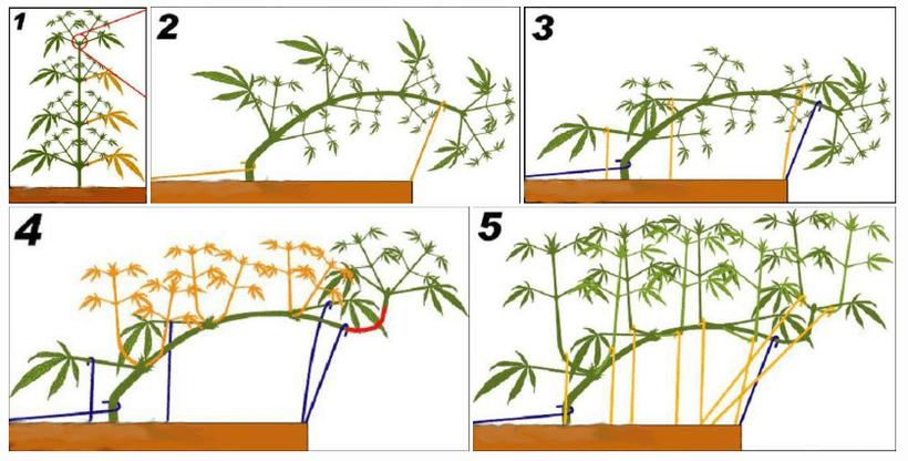 Kann man Autoflowering-Pflanzen trainieren?