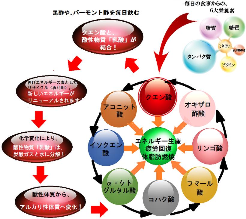 クエン酸サイクルのしくみを、わかりやすく画像で解説しています。