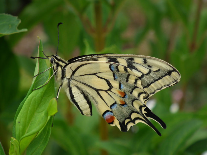 machaon ou grand porte-queue, le plus grand papillon d'Europe