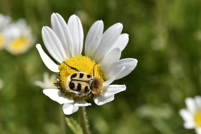 Un coléoptères