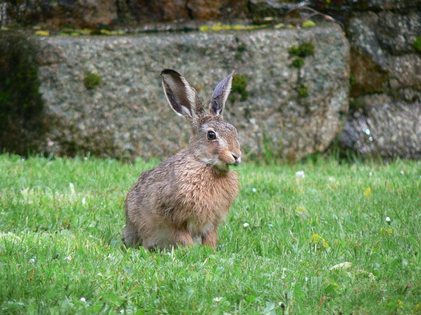 Un lièvre sur notre pelouse !