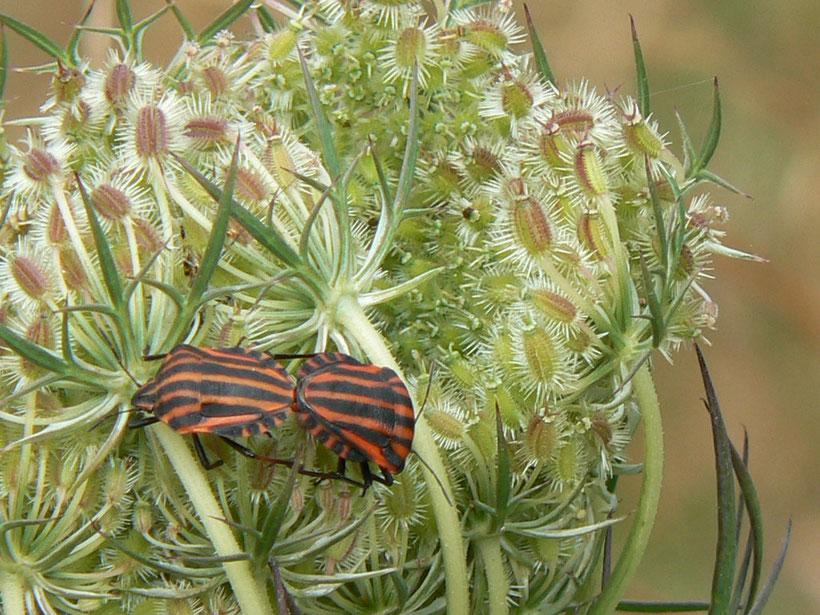 Punaises : ordre d'insecte : hémiptère