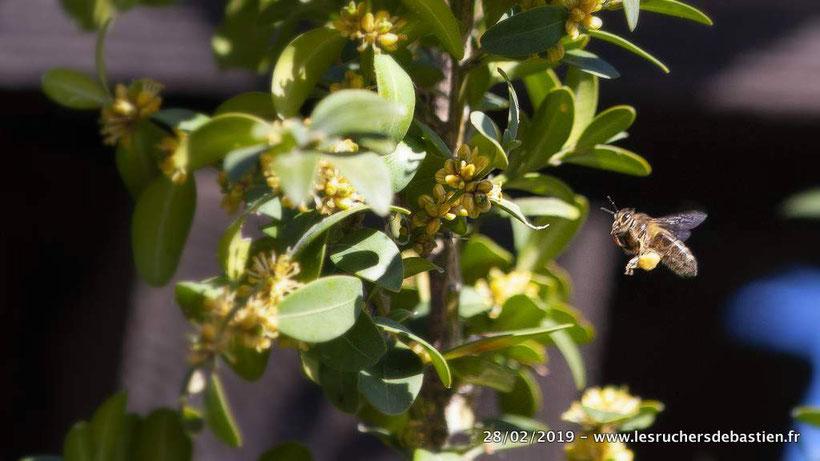 Fleur du Buis et apis mellifera, Cévennes