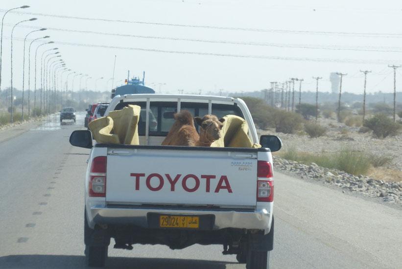 Kameltaxi im Oman