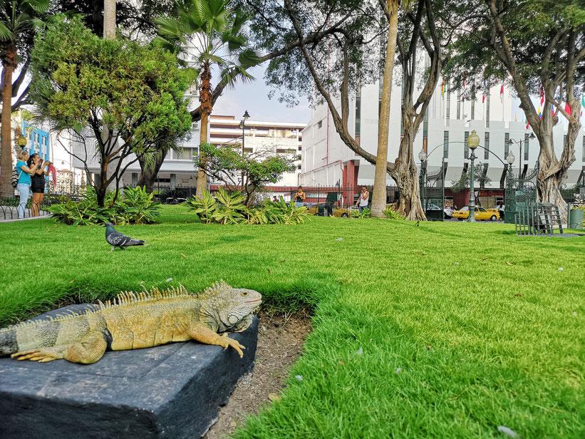Parque Seminario – Der Leguan-Park in Guayaquil
