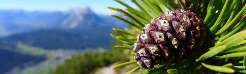 Das Zirbenholz beeindruckt durch seine exzellente Wirkung auf unsere Gesundheit.