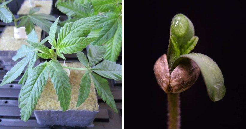 cannabis samen oder klone