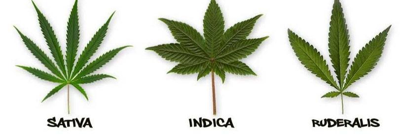 Indica oder Sativa