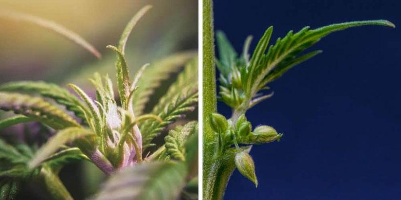 cannabis geschlechter erkennen