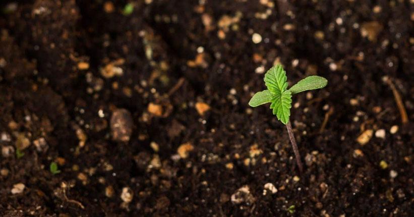 cannabis erde outdoor