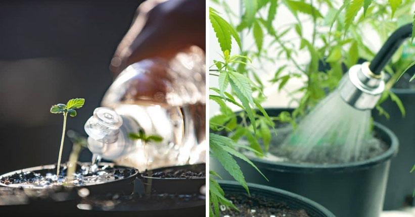 Gießen Sie Ihre Cannabis-Pflanzen regelmäßig