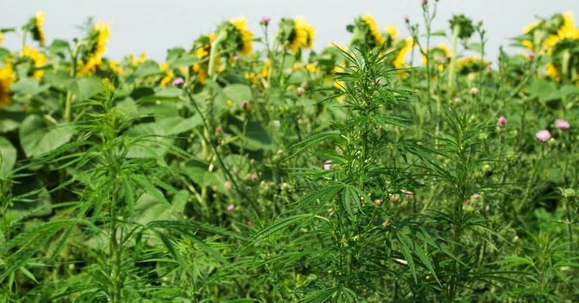 Cannabis unsichtbar anbauen