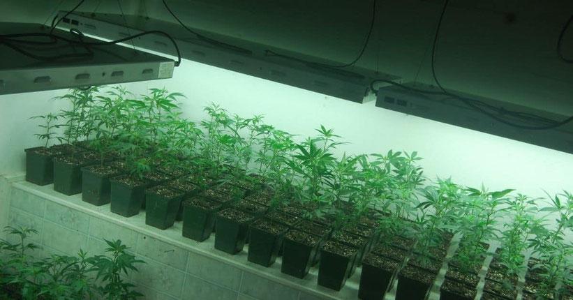 Was ist mit Cannabis-Stecklinge (Klone)