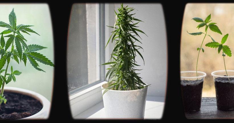 Wie man Cannabis auf einer Fensterbank anbaut