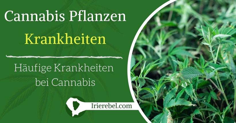 Cannabis Pflanzen Krankheiten - Häufige Krankheiten bei Cannabis