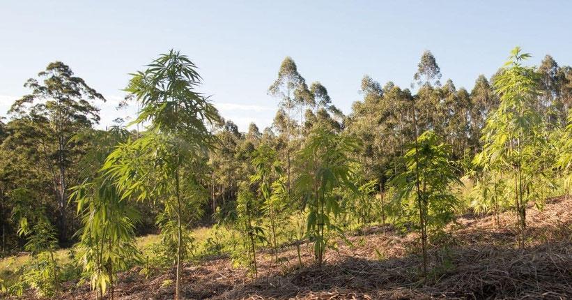 Vorteile des Cannabis Anbaus im Freien (Outdoor)