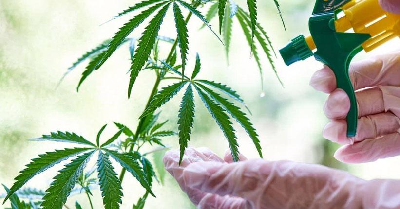 Cannabis Mehltau behandeln