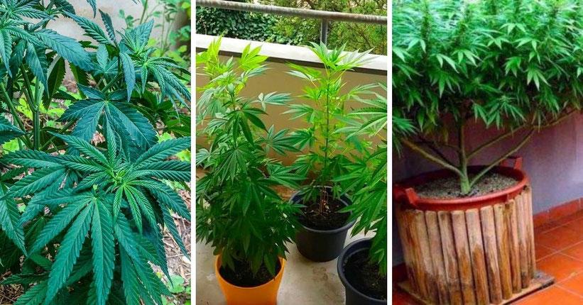 Die verschiedenen Plätze um im Freien Cannabis wachsen zu lassen