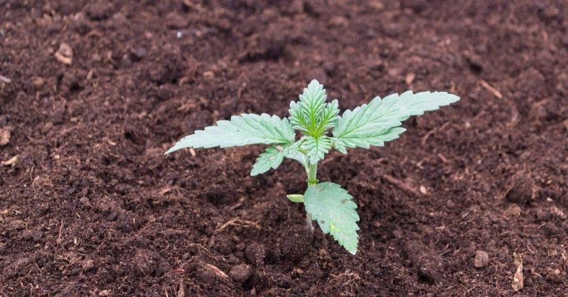 Ohne Topf direkt in die Erde (Boden) pflanzen