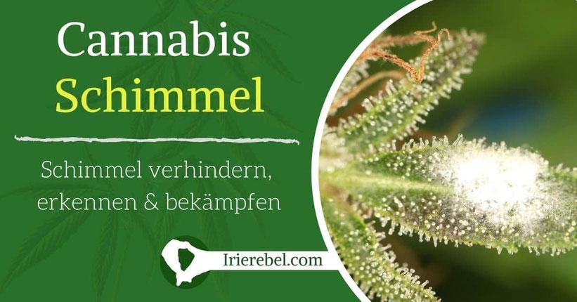 Cannabis Schimmel – Schimmel auf Cannabis verhindern, erkennen & bekämpfen