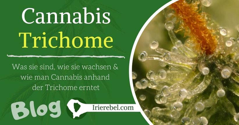 Cannabis Trichome