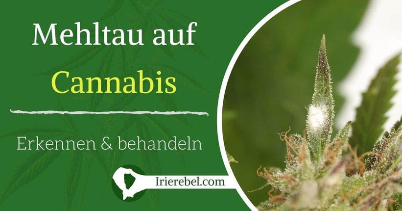 Mehltau auf Cannabis-Pflanzen - Erkennen & behandeln