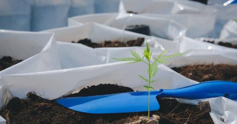Wie man den Cannabis Anbau im Freien vorbereitet