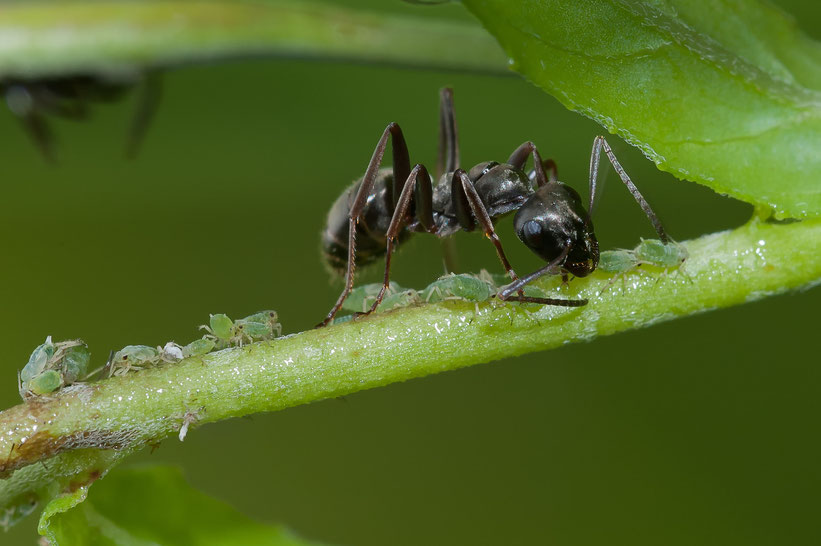 Ant milking a louse (Single Photo, Crop, D700 + 200mm/4 + extension tube, flash, f32 , 1/60s, ISO800)