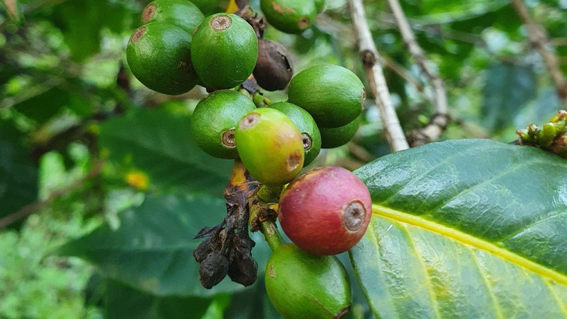 Kaffeefarm-Führung und Ziplining in Paradise Lost, Kenia