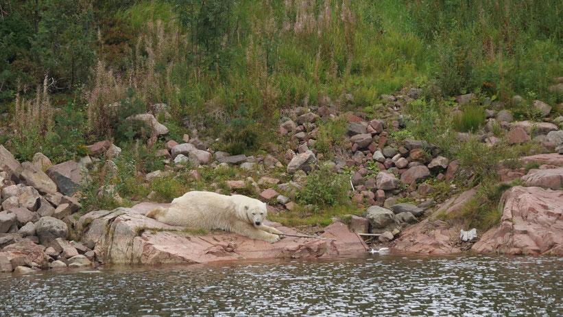 Eisbär Orsa Bjornpark Bärenpark Wildpark Schweden Skandinavien #NordkappUndZurück #Driveyourownway #explorewithoutnoimits wolf78-overland