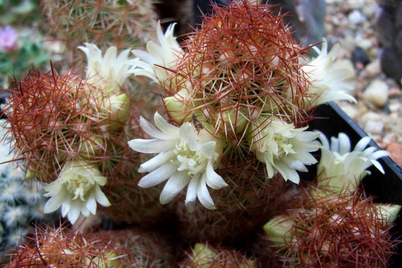 Mammillaria elongata v rufocerea