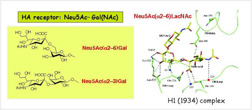 図2 HAが認識する糖鎖受容体の構造と結合部位のX線結晶構造解析(文献2)。