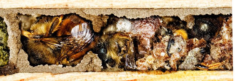Mauerbiene Larve Brutzelle Insektennisthilfe Insektenhotel solitäre Wildbiene