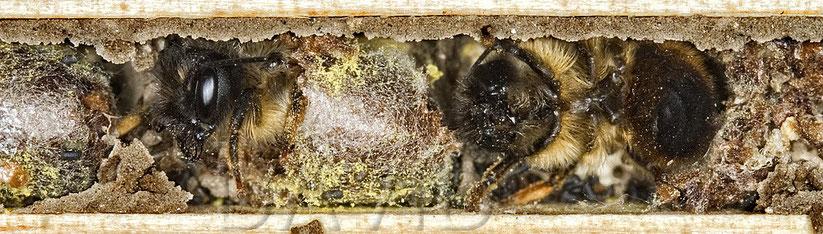 Mauerbiene Schlupf Brutzelle Insektennisthilfe Insektenhotel solitäre Wildbiene